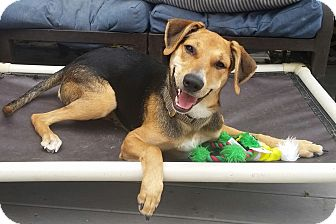 Treeing Walker Coonhound/Beagle Mix Dog for adoption in Linden, New Jersey - Jilly