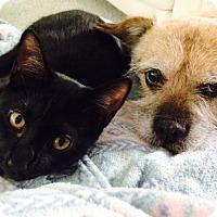 Adopt A Pet :: Shadynasty Egyptian face - McDonough, GA