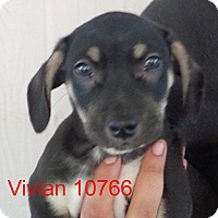 Adopt A Pet :: Vivian - baltimore, MD