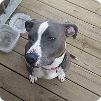 Pit Bull Terrier/Staffordshire Bull Terrier Mix Dog for adoption in Covington, Tennessee - Minnie