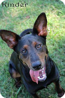 Doberman Pinscher/Labrador Retriever Mix Dog for adoption in Texarkana, Arkansas - Kinder