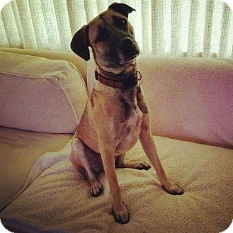 Black Mouth Cur/Anatolian Shepherd Mix Dog for adoption in San Antonio, Texas - Cosmo