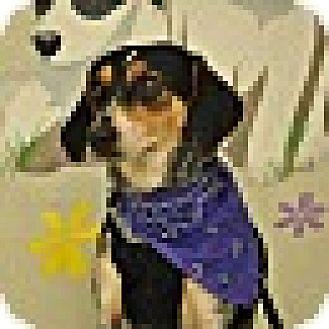 Bluetick Coonhound Mix Dog for adoption in Providence, Rhode Island - Mindy-URGENT