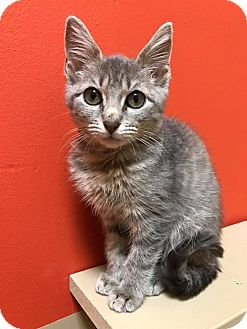 Domestic Shorthair Kitten for adoption in Maryville, Missouri - Marisa