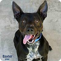 Adopt A Pet :: Baxter - Santa Maria, CA