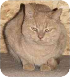 Domestic Shorthair Cat for adoption in Strathmore, Alberta - Sullivan