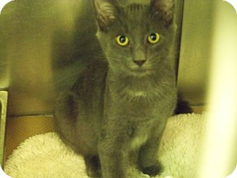 Domestic Shorthair Kitten for adoption in Secaucus, New Jersey - Hopper
