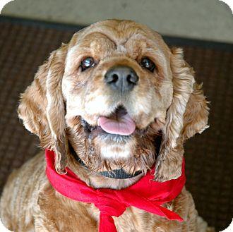 Cocker Spaniel Dog for adoption in Santa Barbara, California - Kayla