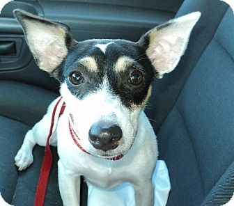 Jack Russell Terrier/Rat Terrier Mix Puppy for adoption in Hollywood, Florida - Dixie