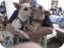 Chihuahua/Terrier (Unknown Type, Small) Mix Dog for adoption in Litchfield Park, Arizona - Chico - Only $25 adoption fee!