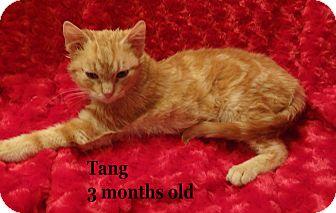 Domestic Mediumhair Kitten for adoption in Bentonville, Arkansas - Tang