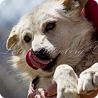 Adopt A Pet :: Foxy - Golden, CO