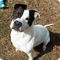 American Staffordshire Terrier/American Pit Bull Terrier Mix Dog for adoption in Colonial Heights animal shelter, Virginia - Nikita