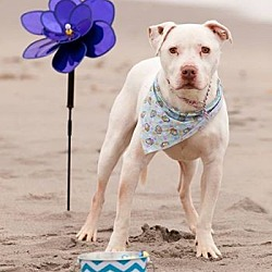 Photo 4 - American Pit Bull Terrier/American Bulldog Mix Dog for adoption in West Warwick, Rhode Island - Ghost - Updated!