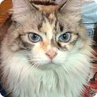 Adopt A Pet :: Sundae - Davis, CA