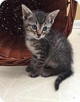 Domestic Shorthair Kitten for adoption in Parkton, North Carolina - Violet