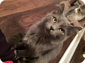 Domestic Mediumhair Kitten for adoption in West Des Moines, Iowa - Polliwog