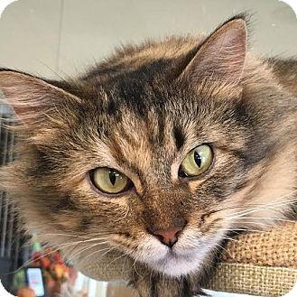 Domestic Longhair Cat for adoption in Columbia, Illinois - Kai
