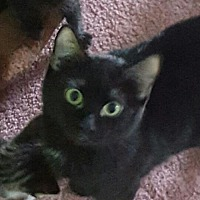 Domestic Shorthair Cat for adoption in O'Fallon, Missouri - Vail