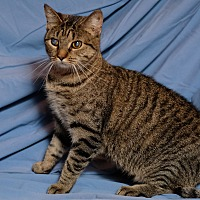 Domestic Shorthair Cat for adoption in Lexington, Kentucky - Brie