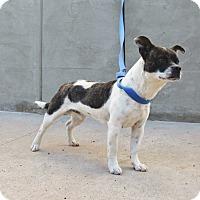 Adopt A Pet :: Jackson - Middlebury, CT