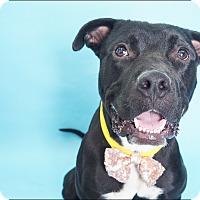 Adopt A Pet :: BOSS - Phoenix, AZ