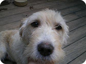 Basset Hound/Schnauzer (Miniature) Mix Dog for adoption in Apex, North Carolina - Martha