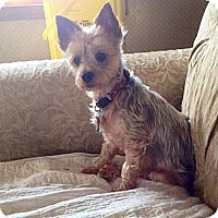 Yorkie, Yorkshire Terrier Dog for adoption in Albion, Rhode Island - Harlie