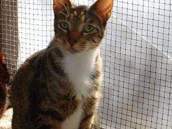 American Shorthair Cat for adoption in Land O Lakes, Florida - Dillon