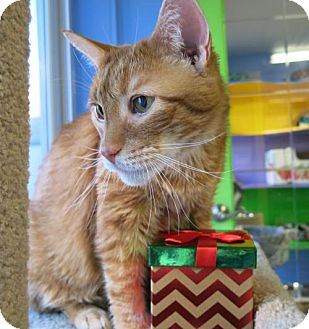 Domestic Shorthair Cat for adoption in Northbrook, Illinois - Lynus