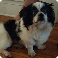 Pekingese Dog for adoption in SO CALIF, California - CHEETO