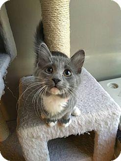 Domestic Longhair Kitten for adoption in Jerseyville, Illinois - Kenzi