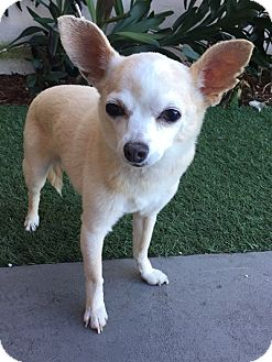 Chihuahua Mix Dog for adoption in Rancho Palos Verdes, California - Bitty