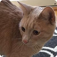 Domestic Shorthair Cat for adoption in Plainville, Massachusetts - Simba2