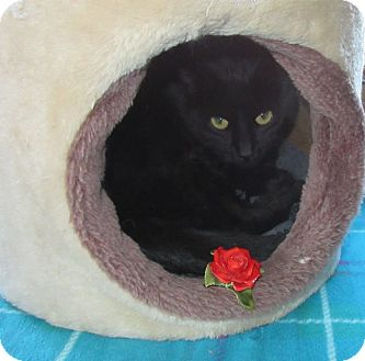 Domestic Shorthair Cat for adoption in Glenwood, Minnesota - Rose