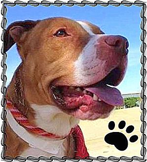 American Staffordshire Terrier Mix Dog for adoption in Higley, Arizona - TEDDY (aka Theo)