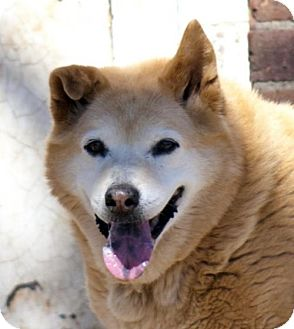 Shiba Inu Dog for adoption in Oxford, North Carolina - Lacy