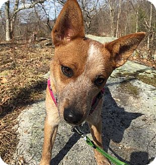 Australian Cattle Dog Dog for adoption in Garden City, New York - Louise