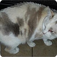 Adopt A Pet :: Maria - Springdale, AR