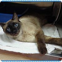 Adopt A Pet :: HERSHEY - FIV+ - Marietta, GA