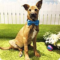 Adopt A Pet :: Usha - Castro Valley, CA