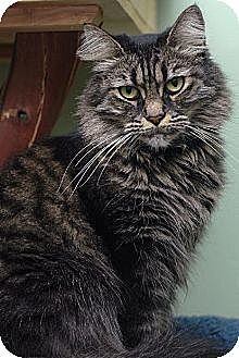 Domestic Longhair Cat for adoption in Auburn, California - Truffle