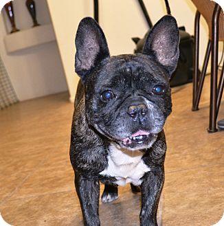 French Bulldog Dog for adoption in Phoenix, Arizona - Frenchi