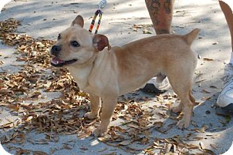 French Bulldog/Terrier (Unknown Type, Small) Mix Puppy for adoption in Minneola, Florida - Buster