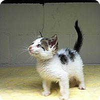 Adopt A Pet :: Pipsqueak - Island Park, NY
