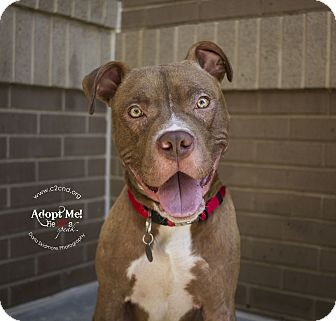 Pit Bull Terrier Mix Dog for adoption in Charlotte, North Carolina - Ren