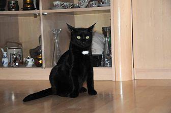 Domestic Mediumhair Cat for adoption in Marlton, New Jersey - Bear