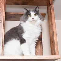 Maine Coon Cat for adoption in Chicago, Illinois - Sammy