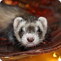 Adopt A Pet :: Ellie - Chantilly, VA