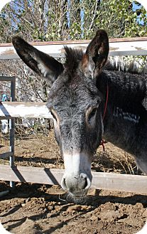 Donkey/Mule/Burro/Hinny for adoption in Phelan, California - Moe
